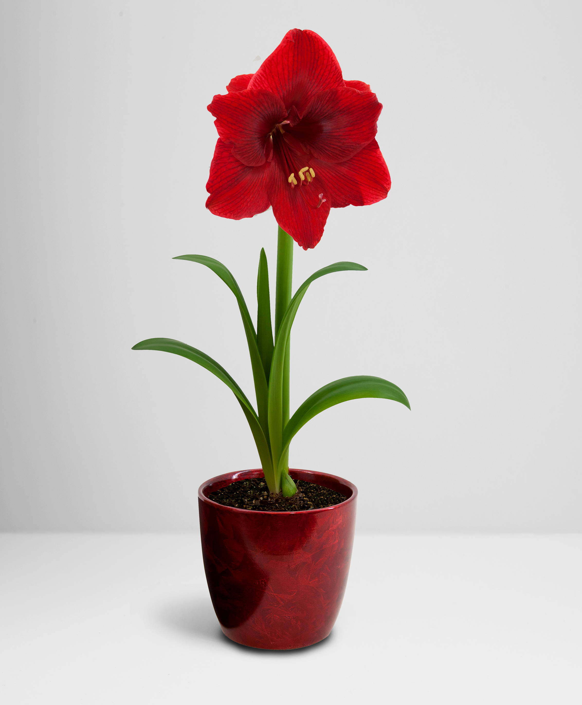 Top Choice Amaryllis in Frosted Red Ceramic