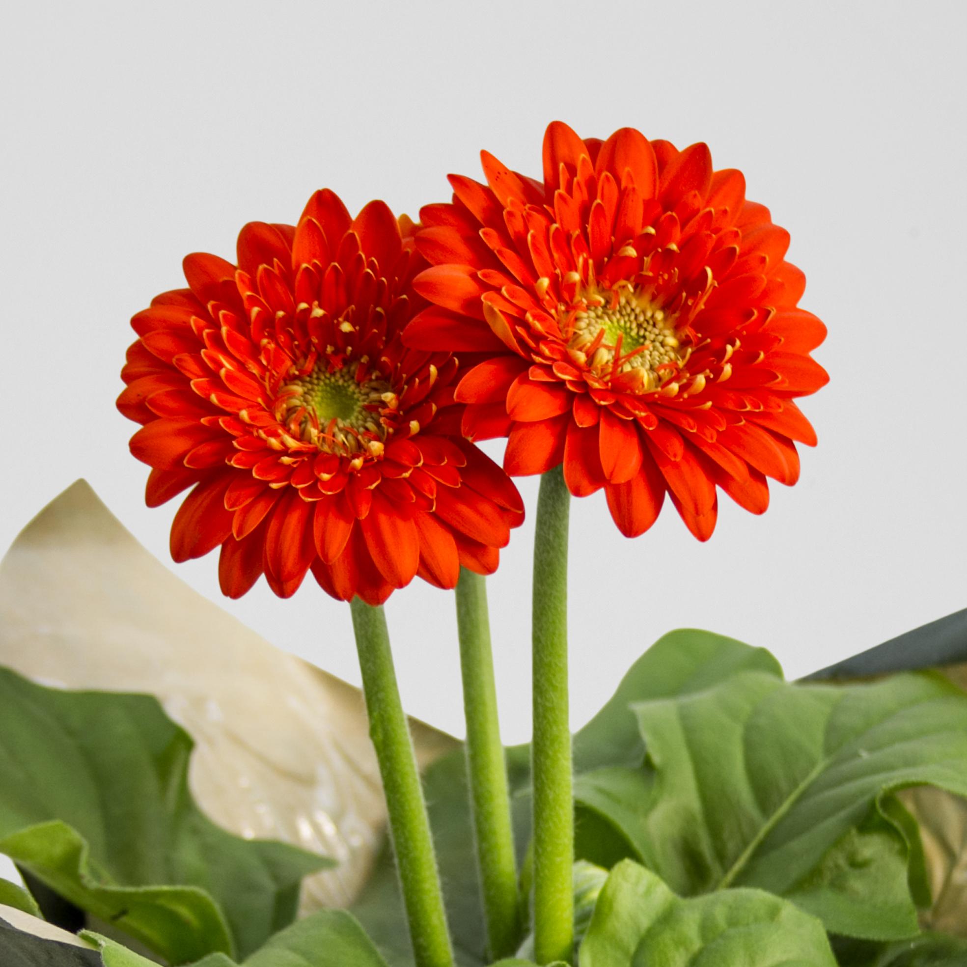 Orange Sundayz Gerbera
