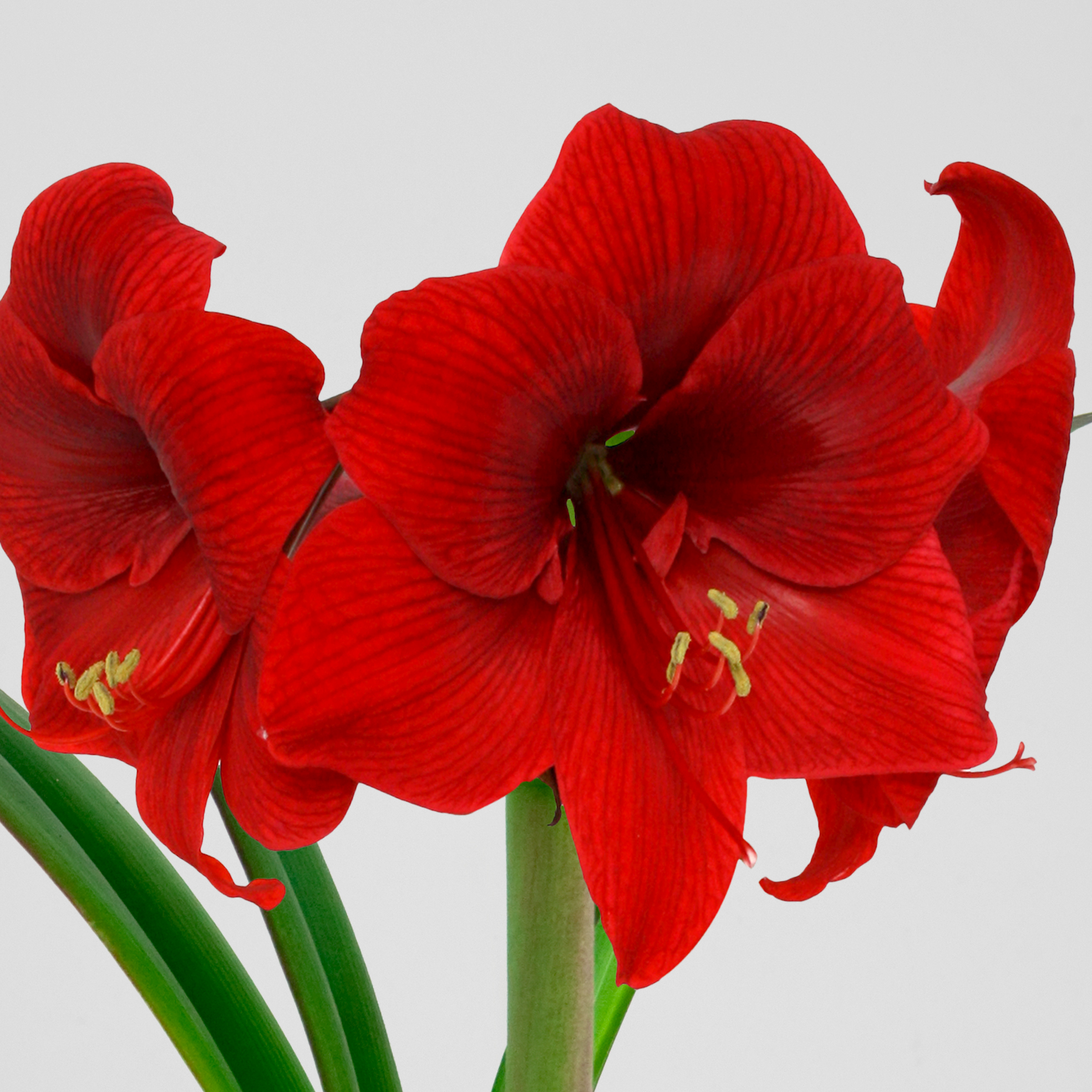 Top Choice Amaryllis