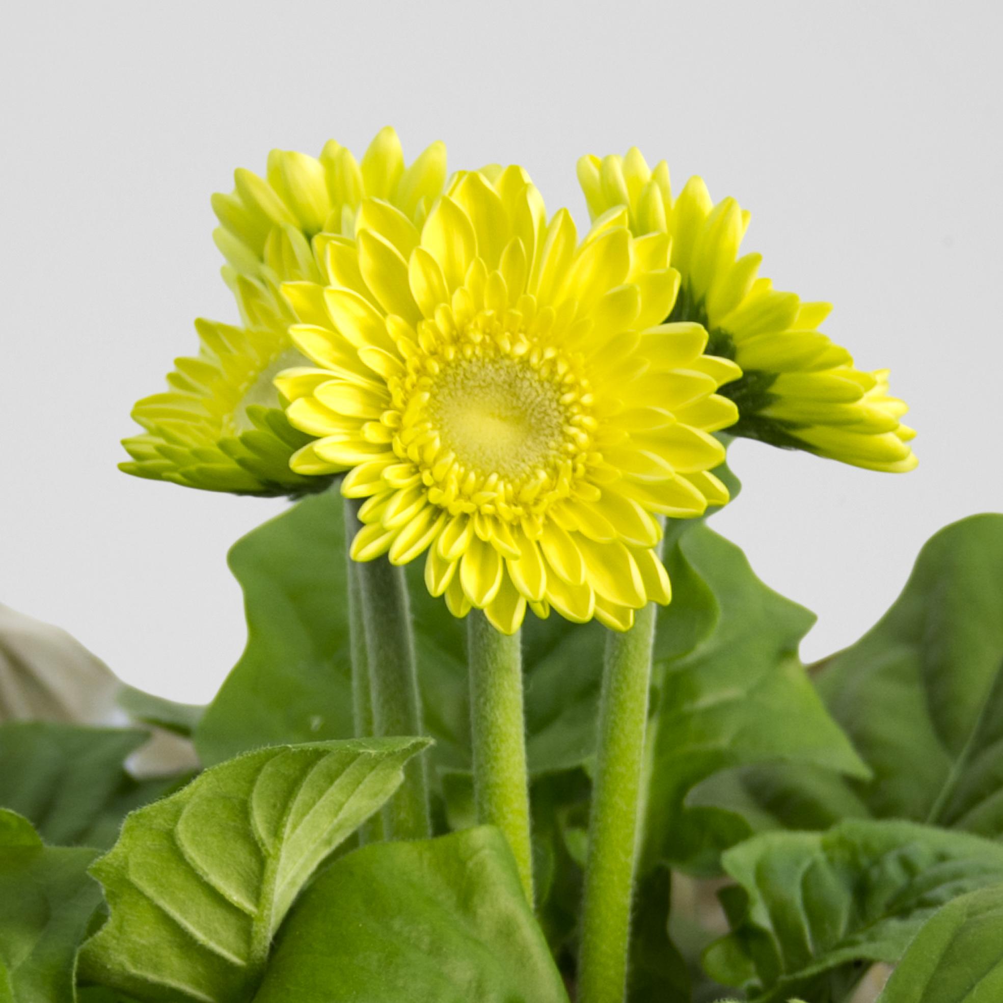 Yellow Sudayz Gerbera