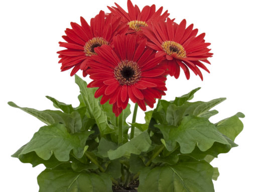 Potted Gerbera
