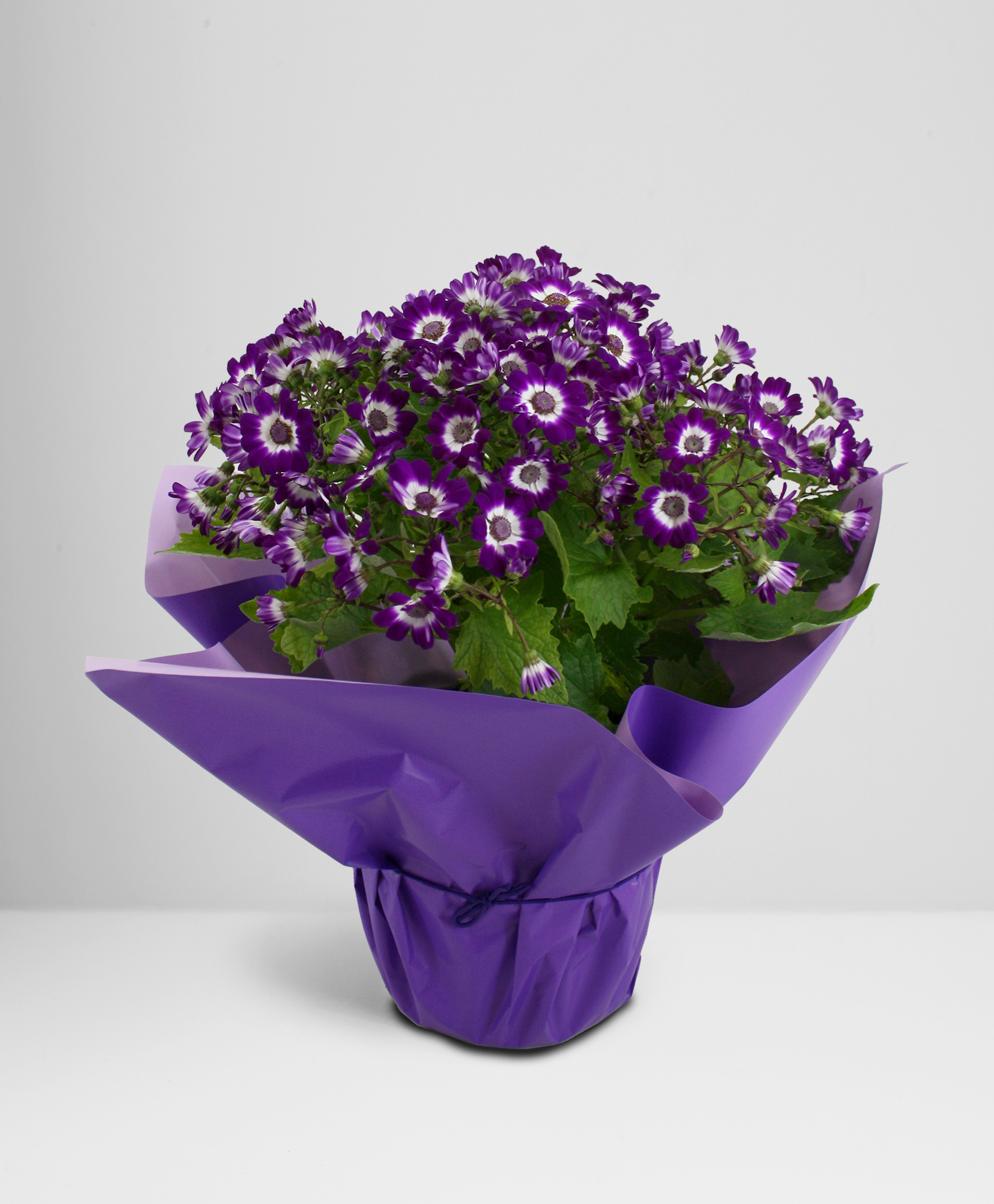 Cineraria_Purple
