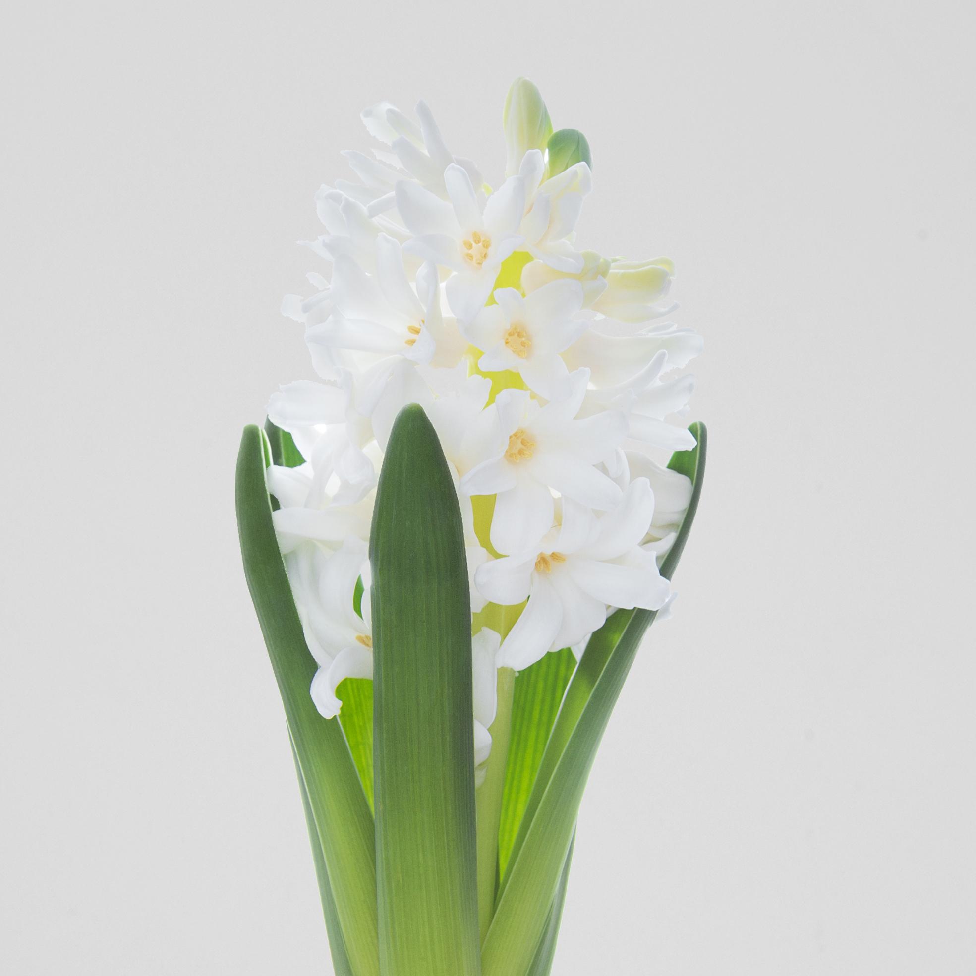 HyacinthWhite
