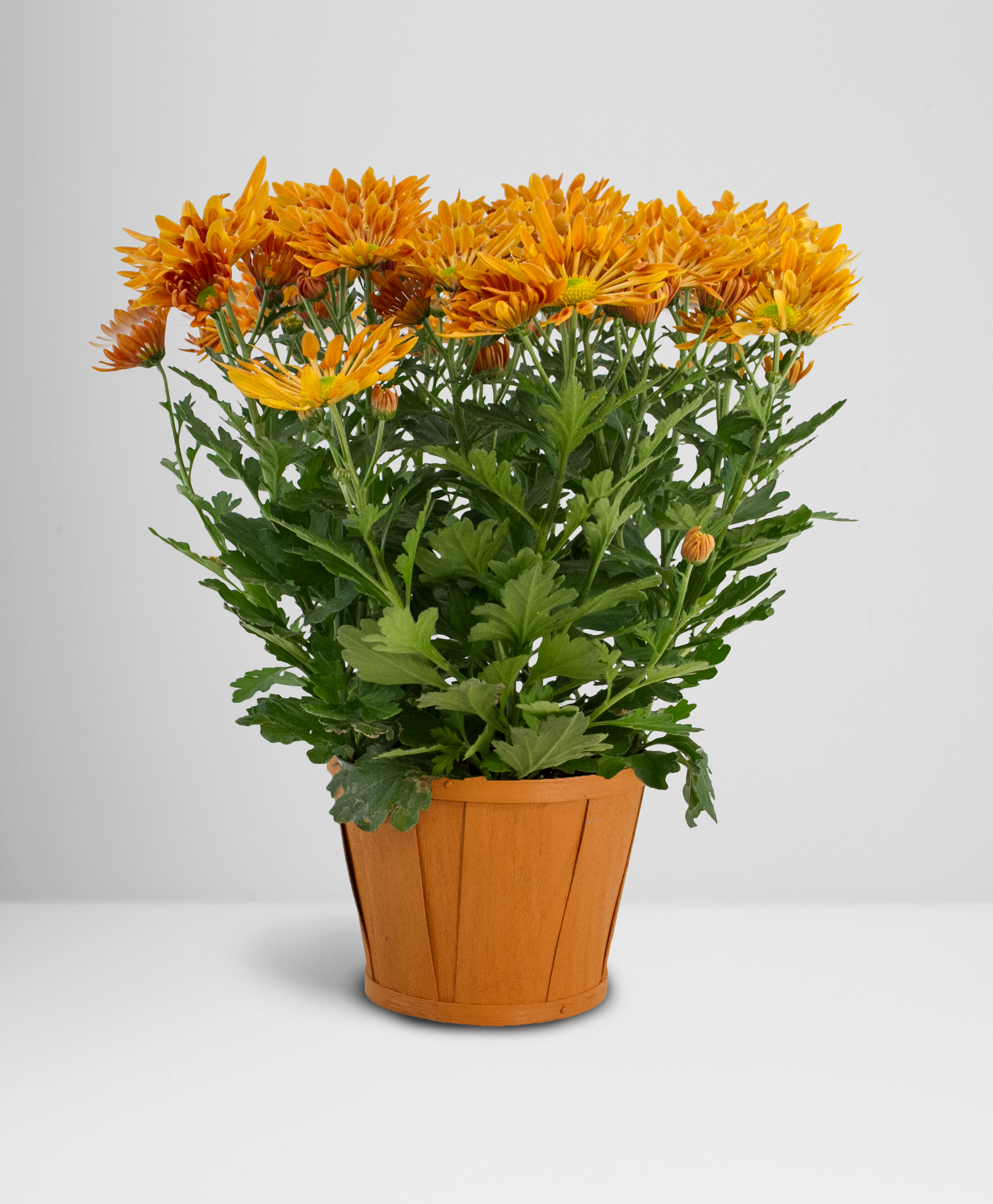 Potted Chrysanthemum in Wooden Upgrade