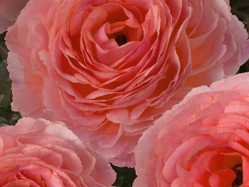 Ranunculus Romance ™